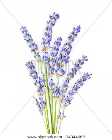 Lavender flowers, little posy of aromatic medicinal herb, fresh plant of purple flower, spa aromatherapy, organic floral branch isolated on white background