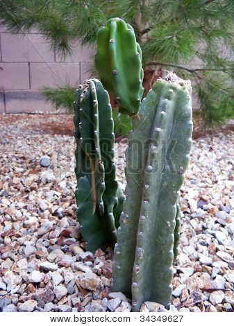 Thornless Cacti