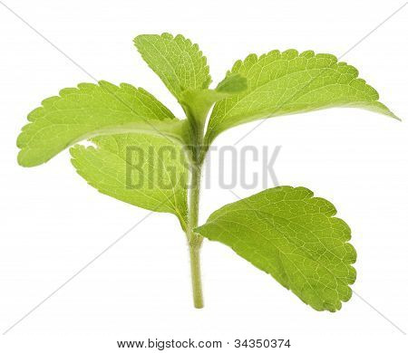 stevia rebaudiana branch and leaves