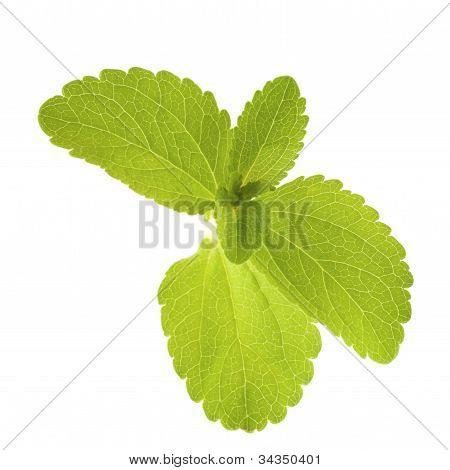 stevia rebaudiana leaves