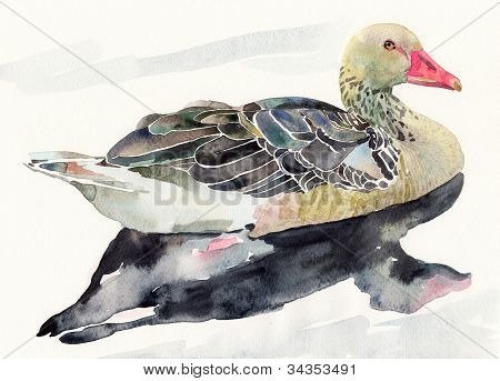 Hand Draw Watercolor Bird, Ducked
