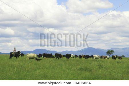 Gaucho Herding Cows Near Salta, Argentina