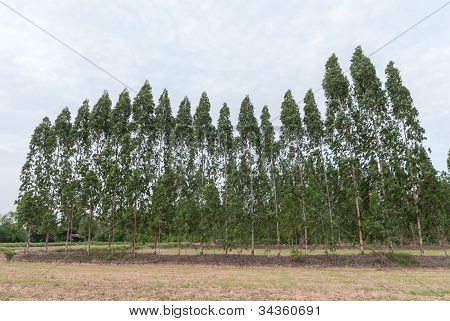 The pinewood forest