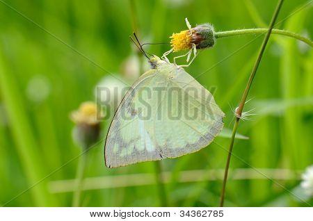 Limón emigrante mariposa (catopsilia Pomona)