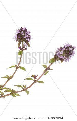 Purple Thyme