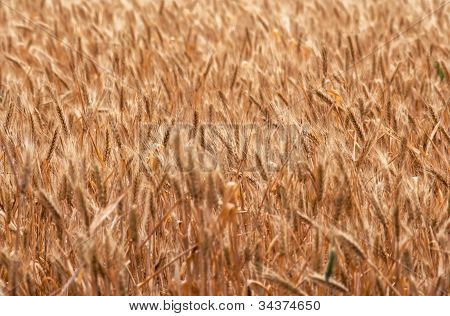 Ripening Ears Of Wheat Field