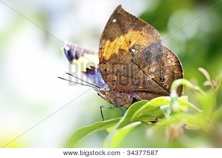 Butterfly Kallima Inachis Formosana