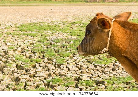 Cow And Cracked Earth