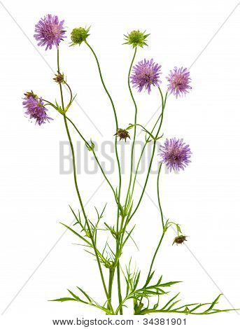 Isolated Pincushion Flower Plant