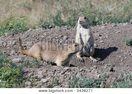 Two Prairie Dogs By The Hole.