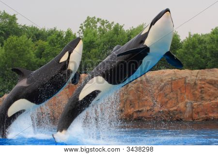Jumping Killer Whales