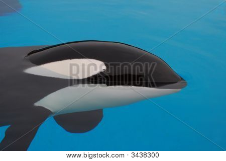 Killer Whale Closeup