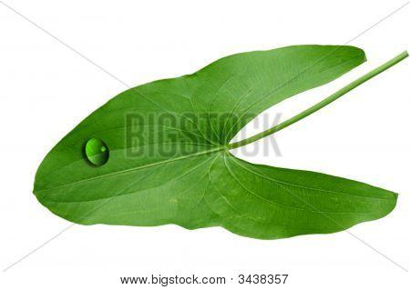 Araceae Leaf