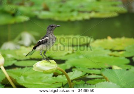 Black Bird And Water Lily At The Pond Side