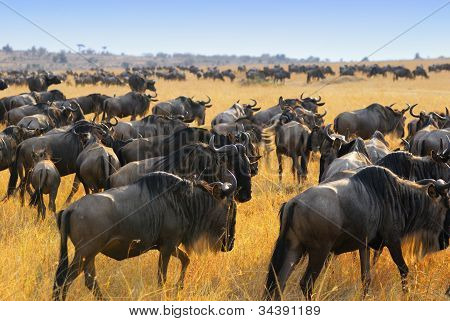 Wildebeest Antelopes In The Savannah