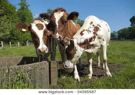 Red Frisian Cows