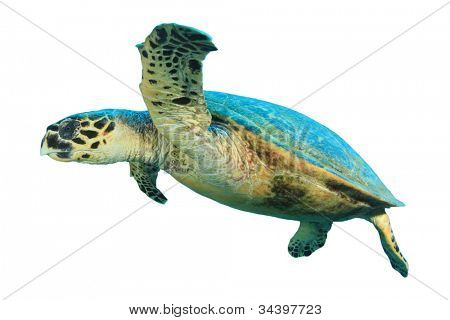 Turtle isolated on white background stock photo