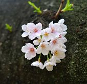 Cherry Blossom In Tokyo, Japan poster