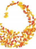 Oak, Maple, Wild Ash Rowan Leaves Vector, Autumn Foliage On White Background. Red Gold Yellow Rowan  poster