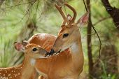 stock photo of bambi  - White tail buck with antlers still in velvet touching noses with young offspring. Useful for many concepts; love security bonding parenting etc.