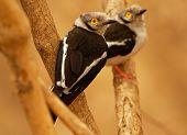 White-crested Helmetshrike - Prionops Plumatus Or White Helmetshrike, Passerine Bird In The Family P poster