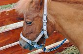 Red Pony With A Harness In The Paddock. Animals poster