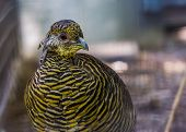 Female Golden Pheasant Face In Closeup, Tropical Bird Specie From China And America poster