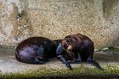 Closeup Of A Juvenile California Sea Lion Couple, Eared Seal Specie From America poster
