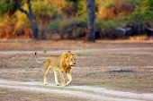 The Southern Lion (panthera Leo Melanochaita) Or African Lion. A Large Very Blond Dominant Male, Typ poster