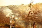 Composition About Australian Wildlife In Bushfires Of Australia In 2020. Koala With Fire On Backgrou poster