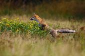 The Red Fox (vulpes Vulpes) Looks For Food In A Meadow. Young Red Fox On Green Field With Dark Spruc poster