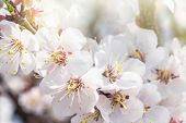 A Branch Of Cherry Blossoms . Flowering Apricot On A Sunny Day, Cherry Blossoms In Spring.close Up F poster
