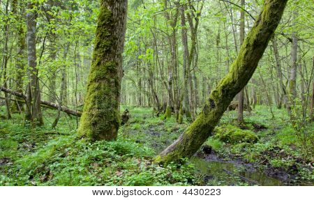 Springtime Deciduous Stand Of Bialowieza Forest Landscape Reserve
