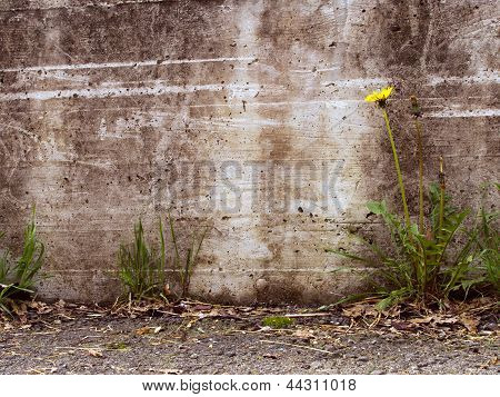 Urban Decay Detail - Dandelion By Concrete Wall,  Taraxacum Officinale