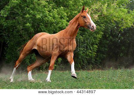 Horse run gallop