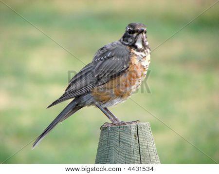 Montana Juvenile Robin Fence Post 5