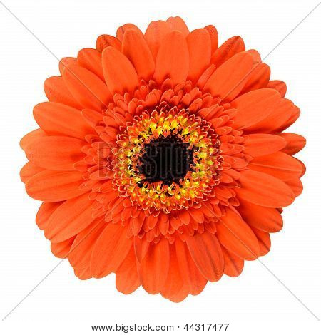 Beautiful Orange Gerbera Flower Isolated On White