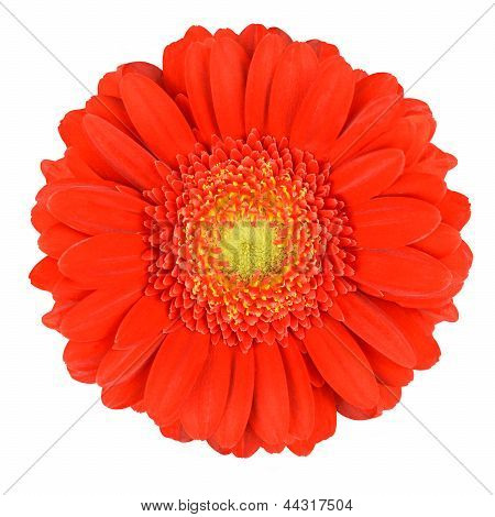 Perfect Orange Gerbera Flower Isolated On White