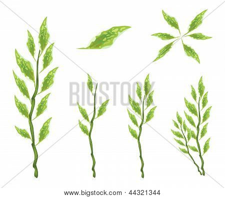 Set Of Pedilanthus Tithymaloides Leaves On White Background