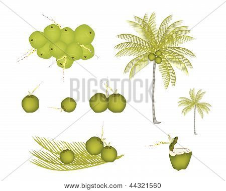 Set Of Palm Tree With Green Coconuts