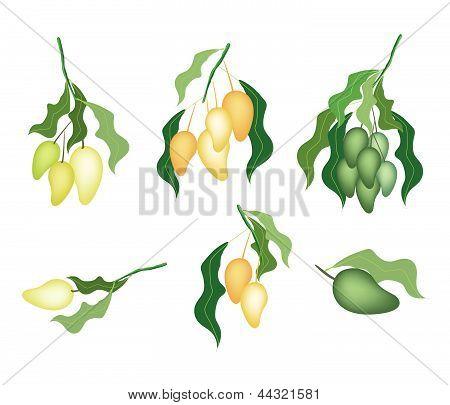 Set Of Mango Fruits On White Background Background