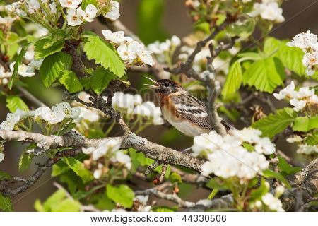 Chirping Bay-breasted Warbler