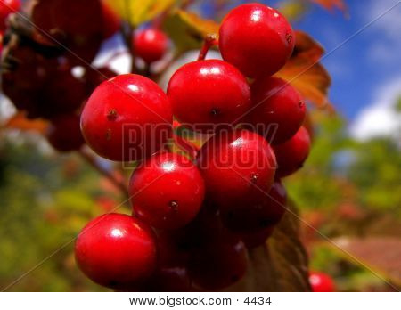 Wild Red Berries