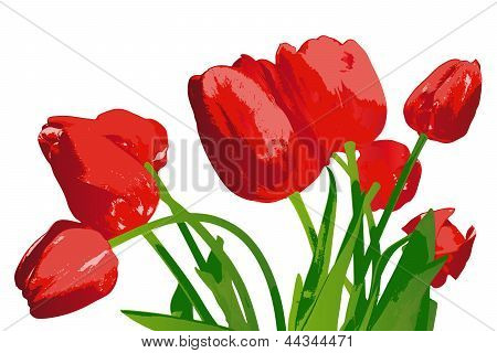 Bouquet red garden tulip on a white background