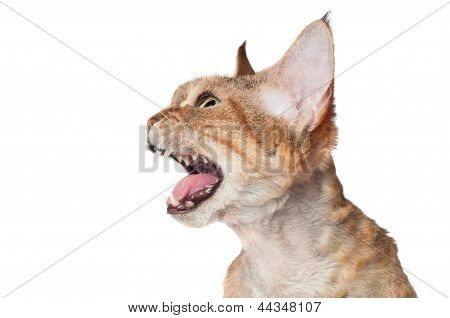 devon rex cat meowing