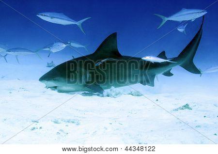 Feeding Bull Shark