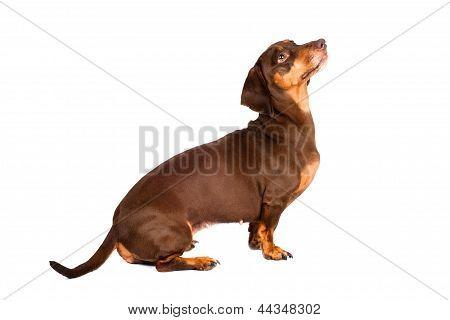 brown dachshund dog