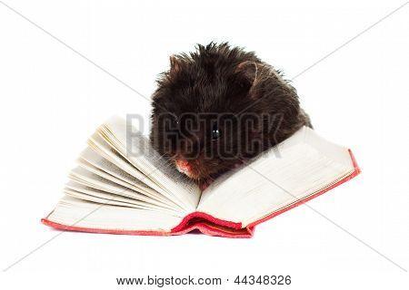 black hamster reading a tiny book