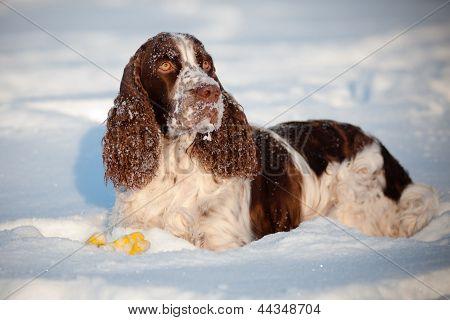 Springer Spaniel Hund im Schnee