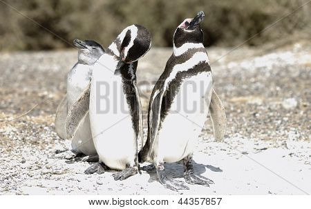 Magellanic Penguins family
